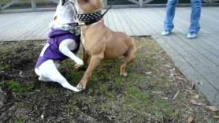 言わずと知れた最強犬種にして、我が憧れの犬、その名は ピットブル!!...