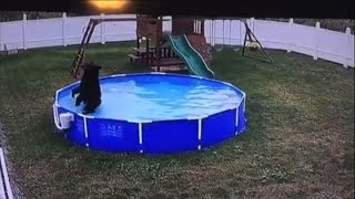 Bear takes a dip in the family pool... for the third time!