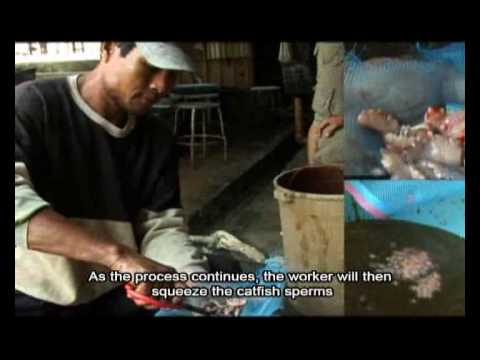 Malaysia walking catfish documentary[part 2] - YouTube - photo#1