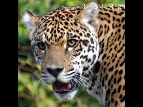 Jaguar Roar 🐆 🔊 - YouTube