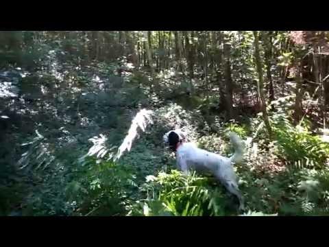English Setter (Tico) Working a Woodcock, 8/14/2016
