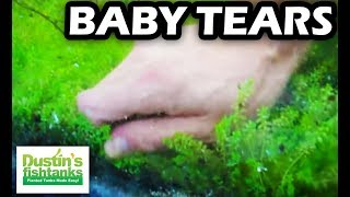 How to Grow & Harvest Baby Tears Outside