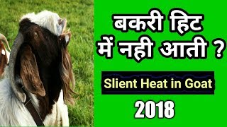 Silent Heat in breeding Goats in Goat Farming (2018) II बकरी हिट में नही आती (२०१८)