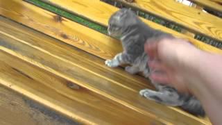 шотландские котята. ПРОДАЖА! Николас  SFSa22