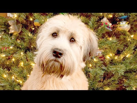 Funny Wheaten Terrier Videos