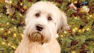 Funny Wheaten Terrier Videos