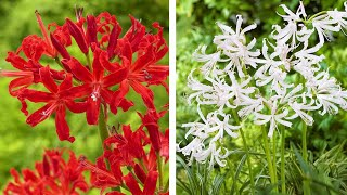 How To Plant Nerines: Jeff Plants Nerine Bowdenii Or Guernsey Lily Into Pots
