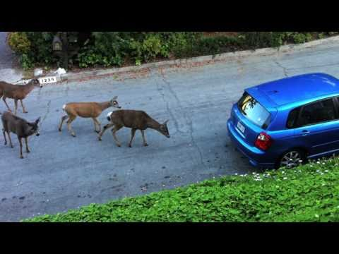 Cat vs. Deer
