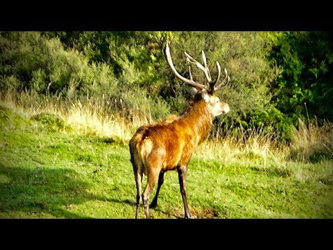 #waikarimoana Hunting Fallow Deer For Meat With 223 Rifle In New Zealand # 198