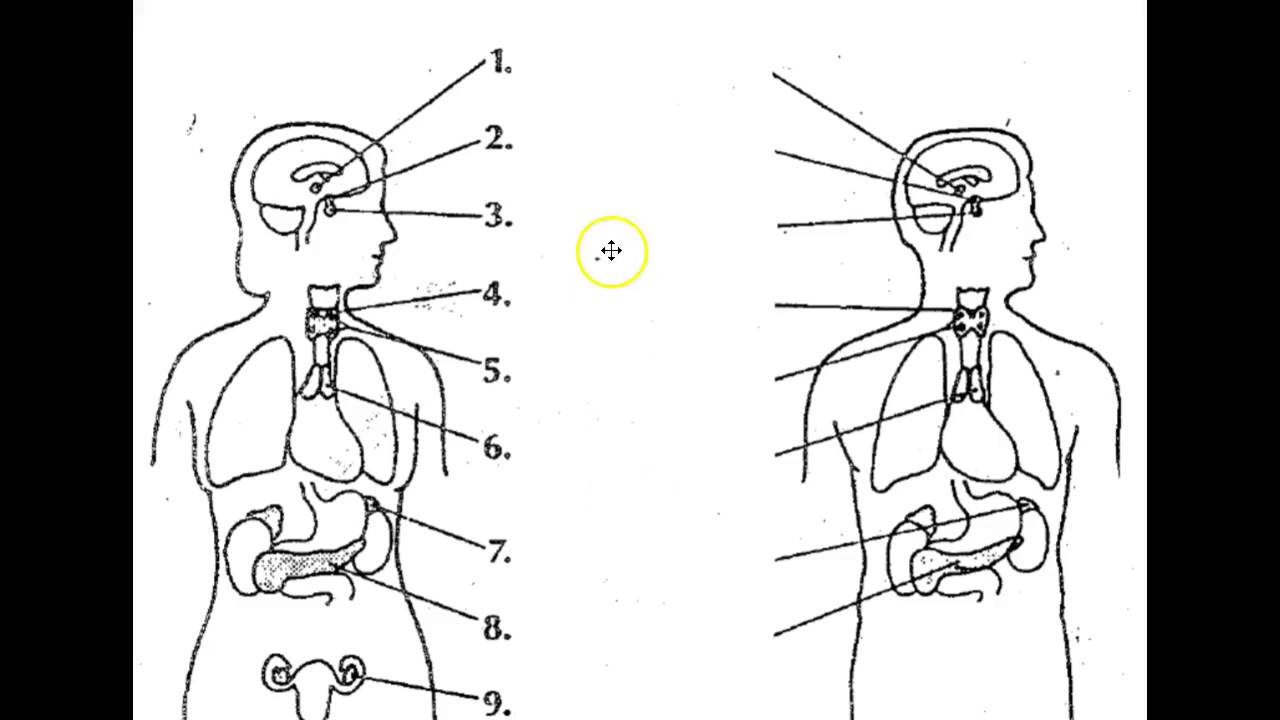 Endocrine System Diagram Atwood Furnace Wiring The Human Youtube