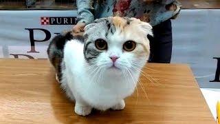 😍 Шотландская Девочка Кошка ❤️️ Милейшее Создание | Весеннее Обострение - ПРИКОЛ | ПОРОДЫ КОШЕК
