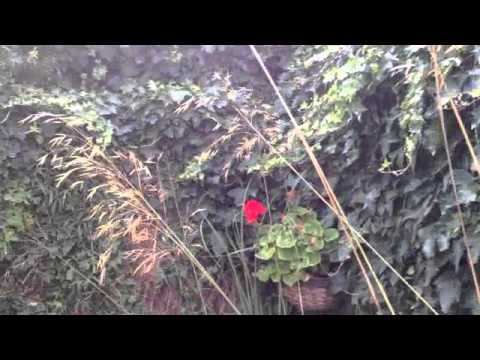 Cutting Back Ivy Youtube