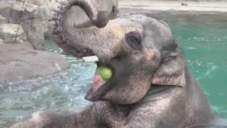 Elephant Does Handstand In Water To Keep Cool