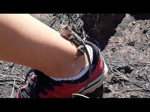4K CC. Collared Lizards & Cactus Fun with Reptiles, Amphibians USA CA AZ NV UT NM TX Herping HD.