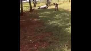 Баран против Коровы