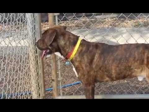 ADOPT ME! Lab/Pit/Hound mix male (2827027)