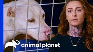 Dog With Mutilated Ears Might Have A Mass   Pit Bulls & Parolees