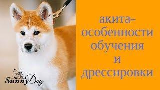 Акита - особенности обучения и дрессировки щенка акиты
