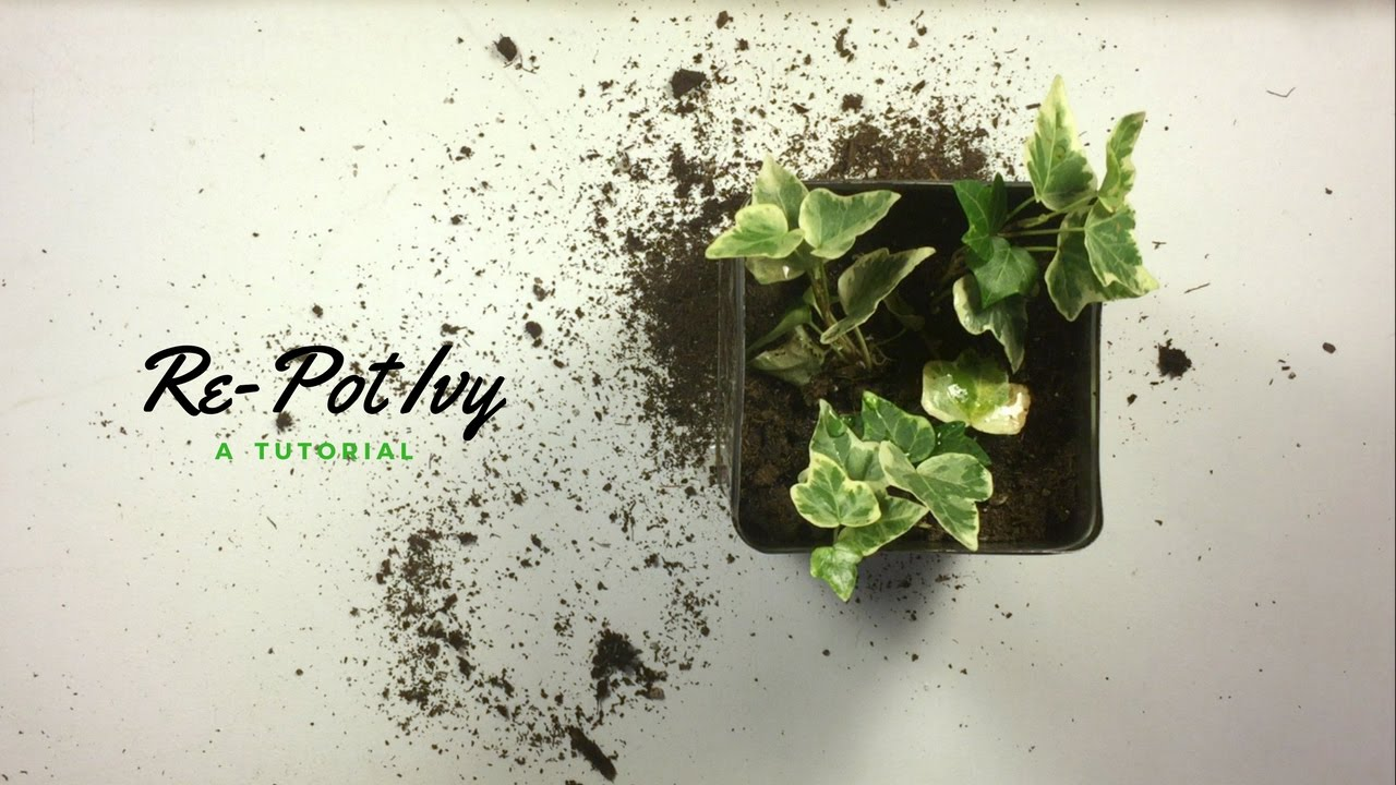 How to Re-Pot Ivy | the houseplant diaries Ivy House Plant Pot on ivy houseplant, yucca elephantipes house plant, ivy water plant, ivy ice plant, ivy flower, ivy indoor plant,
