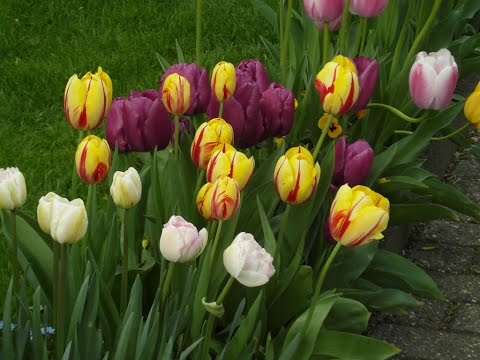 Недорогой и приятный цветок - тюльпан. Фото тюльпанов
