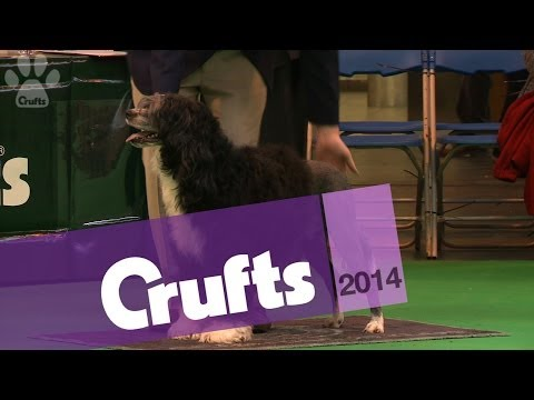Portugese Water Dog | Best of Breed | Crufts 2014
