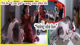 GIA ĐÌNH NUÔI CHÚ HEO HƠN 100KG LÀM THÚ CƯNG Ở TP HCM | Pet Pigs
