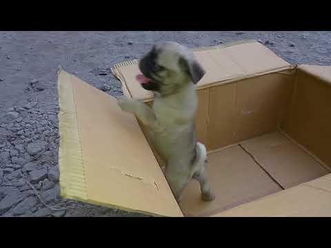 CUTE CHARLIE 5 WEEKS OLD II CHARLIE THE PUG II VODAFONE DOG