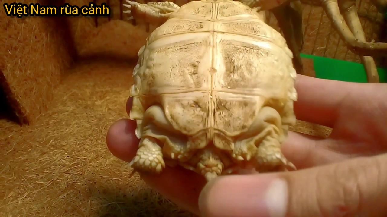 Mở hộp rùa Sulcata – loài rùa cạn lớn thứ 3 thế giới || Unbox baby sulcata tortoise