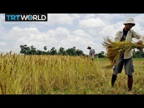 Japanese rice farmers struggle to survive   Money Talks