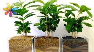 Кофейное дерево: секреты выращивания – Все буде добре. Выпуск 665 от 07.09.15(Больше полезного ниже! ↓ ♥ Подпишитесь на наш Youtube канал! → http://www.youtube.com/user/VseBudeDobreUA?sub_confirmation=1 ♥ Если вы..., 2015-09-07T15:49:38.000Z)