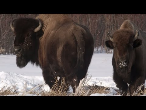 Wolf Pack Hunts Buffalo Herd | BBC Earth