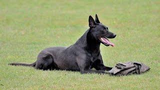 Knpv championships 2014 - Stud dog - Allpurposek-9.com