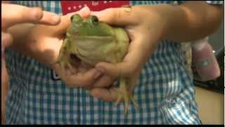 WCAX Jumping Frogs Contest PKG 7/4/12