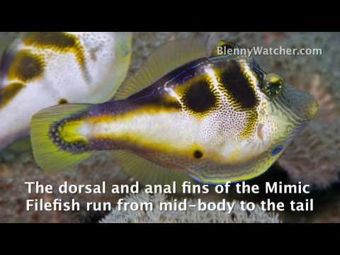 Mimicry: The Filefish And The Toby From BlennyWatcher.com