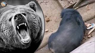 Urso ataca homem - Urso devora homem