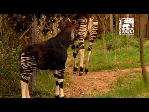 Okapi Calf First Time Outside - Cincinnati Zoo