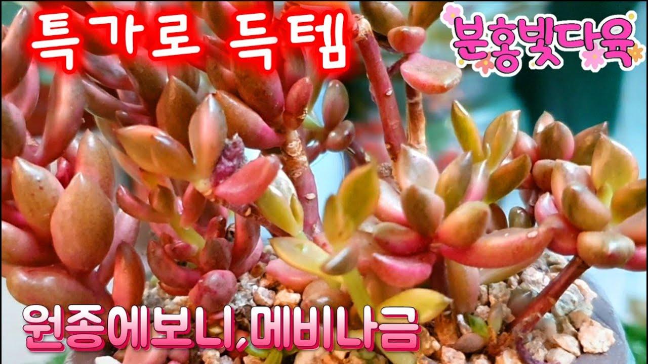 특가로 산 원종에보니.메비나금.로즈마리아.모노금등 예쁜분에 담아줬어요.원종에보니 잎장이 완전 오동통하네요.#옥계식물원 #행복한꽃그릇