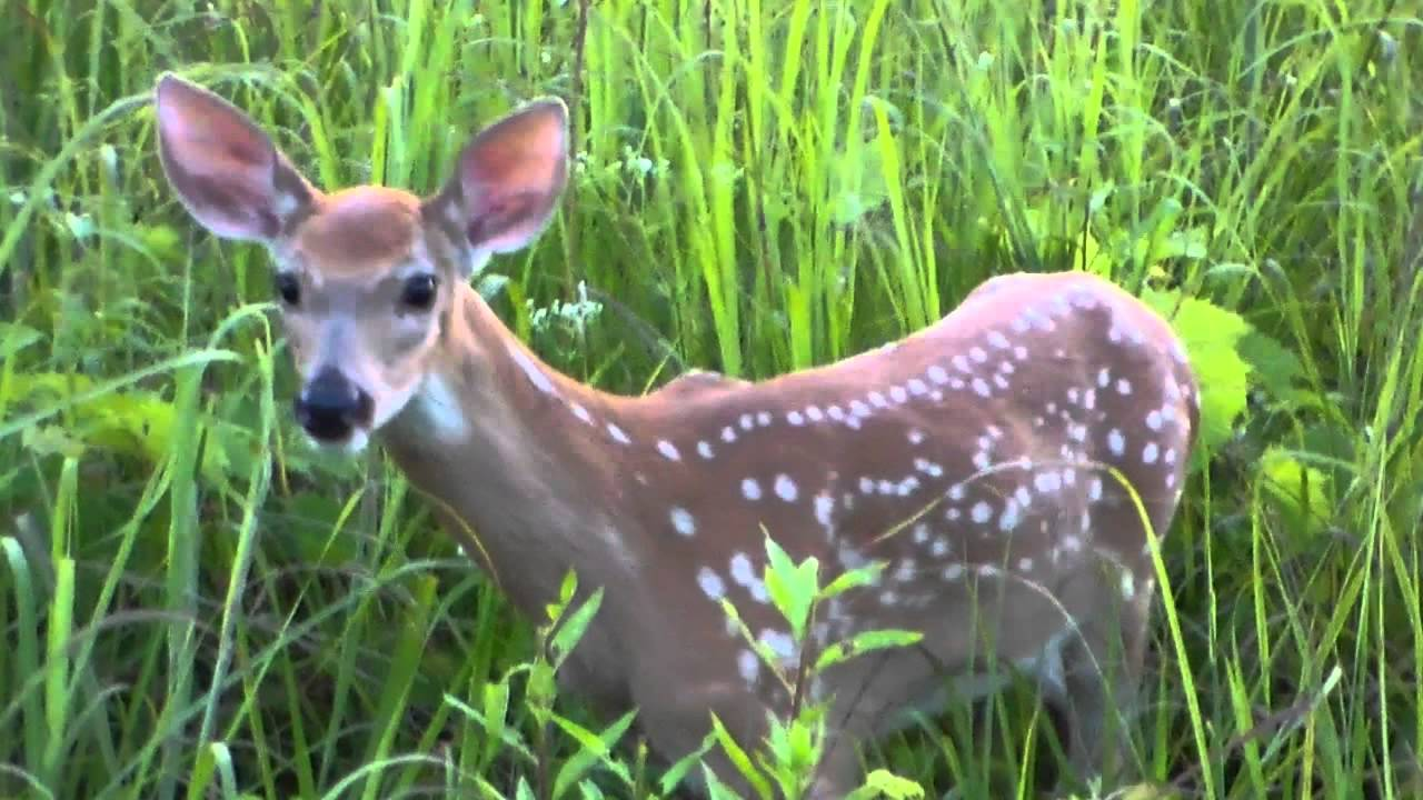 Baby Deer Crying For It S Mom Walking Up To Me 7 15 15