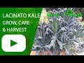 Lacinato Kale - growing, care & harvesting