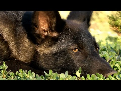 Wolf puppy keeps up with Doberman & Anatolian - it's not easy!