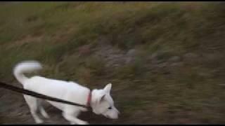 紀州犬と散歩している様子を撮影しました。近年のウォーキング熱の高ま...
