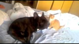 Коварный кот убийца против французского бульдога