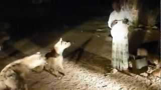 Etiopia hieny w Harar