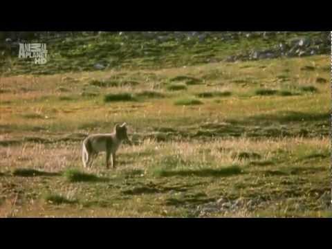 Вопрос: Сообщение Животный мир Арктики, как написать?
