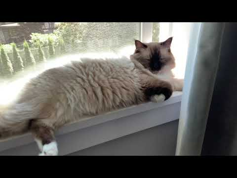 Fluffy Ragdoll cat relaxing by the window