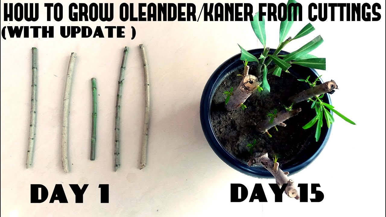 How To Grow Oleanderkaner From Cuttingswith Update Video Youtube