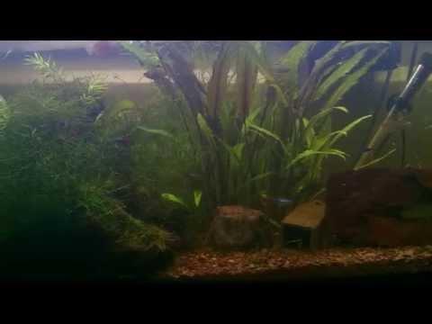 30 Gal Planted Tank - X-Ray Tetra Babies (Fry)!