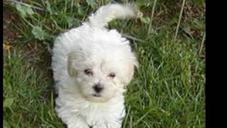 Top 10 Cutest Toy Dogs