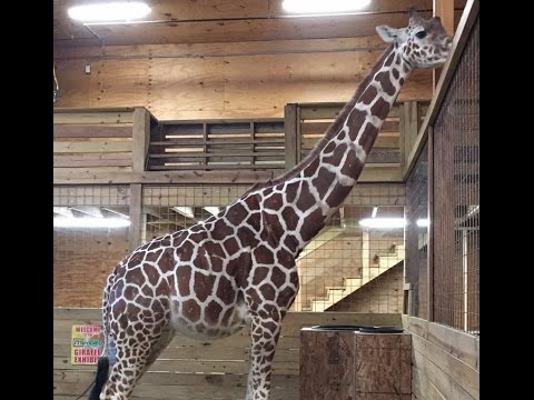 Thumbnail: When Will April the Giraffe Give Birth