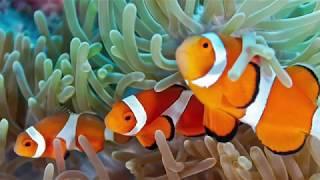 Como criar peixe palhaço em aquário